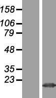 NBL1-10466 - FAM128B Lysate