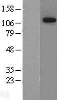 NBL1-10467 - FAM129A Lysate
