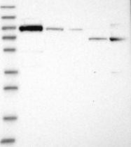 NBP1-88782 - Niban-like protein 1