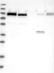 NBP1-88784 - Niban-like protein 1