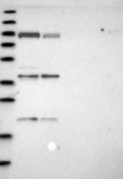 NBP1-88785 - Niban-like protein 1