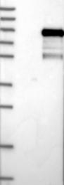 NBP1-89908 - CSRNP2