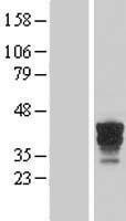 NBL1-10471 - FAM131B Lysate