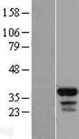 NBL1-10473 - FAM133B Lysate