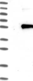 NBP1-83669 - FAM134B