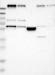 NBP1-85053 - FAM134C