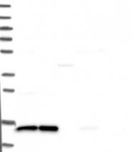 NBP1-82226 - FAM136A