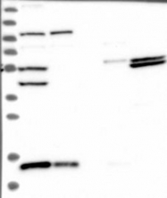 NBP1-82227 - FAM136A