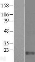 NBL1-10477 - FAM136A Lysate