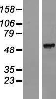 NBL1-10482 - FAM151A Lysate