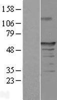 NBL1-10485 - FAM154A Lysate