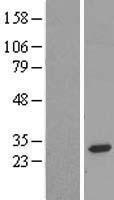 NBL1-10487 - FAM158A Lysate