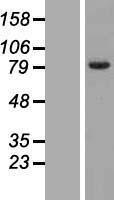 NBL1-10488 - FAM161B Lysate