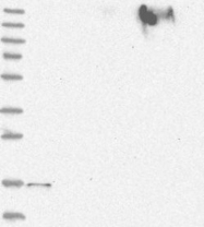 NBP1-86792 - FAM162A