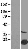 NBL1-10489 - FAM162A Lysate