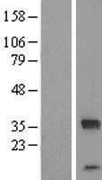 NBL1-10492 - FAM164C Lysate