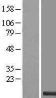 NBL1-08386 - FAM165B Lysate