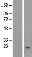 NBL1-10494 - FAM167B Lysate
