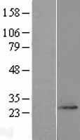 NBL1-10495 - FAM168A Lysate
