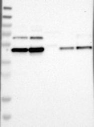 NBP1-86774 - FAM172A