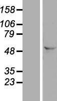 NBL1-10497 - FAM172A Lysate