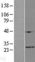 NBL1-10498 - FAM173B Lysate