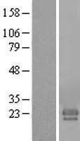 NBL1-10499 - FAM174A Lysate