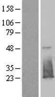 NBL1-10503 - FAM176B Lysate