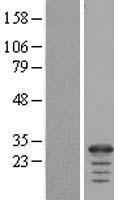 NBL1-10504 - FAM177A1 Lysate