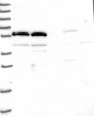 NBP1-93539 - LOC51252