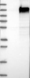 NBP1-86741 - FAM184A