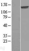 NBL1-08535 - FAM184A Lysate