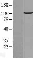 NBL1-08131 - FAM186B Lysate