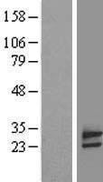 NBL1-10505 - FAM18B Lysate