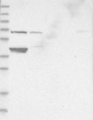 NBP1-84559 - FAM18B2