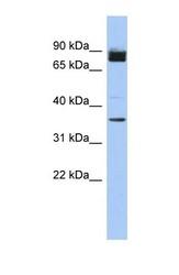 NBP1-56658 - MGC48628