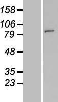 NBL1-13079 - FAM190A Lysate