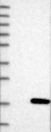 NBP1-80702 - FAM19A1