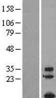 NBL1-10507 - FAM19A1 Lysate