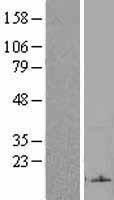 NBL1-10508 - FAM19A2 Lysate