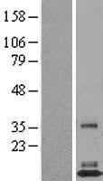 NBL1-10509 - FAM19A3 Lysate