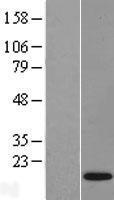 NBL1-10511 - FAM19A4 Lysate
