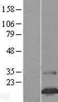 NBL1-10515 - FAM24B Lysate