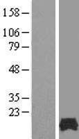 NBL1-10519 - FAM32A Lysate