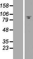 NBL1-10520 - FAM35A Lysate