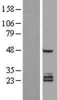 NBL1-10522 - FAM3B Lysate