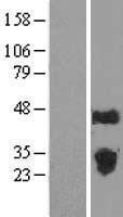 NBL1-10524 - FAM3C Lysate