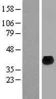 NBL1-10529 - FAM45A Lysate