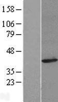 NBL1-10535 - FAM49A Lysate