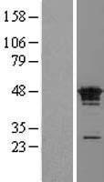 NBL1-10537 - FAM50A Lysate